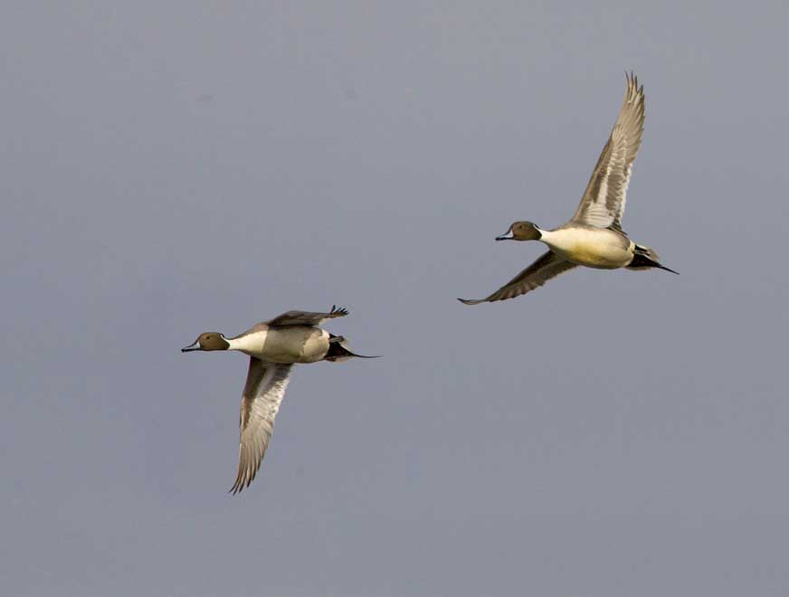 Northern Pintails m in flight 6490s